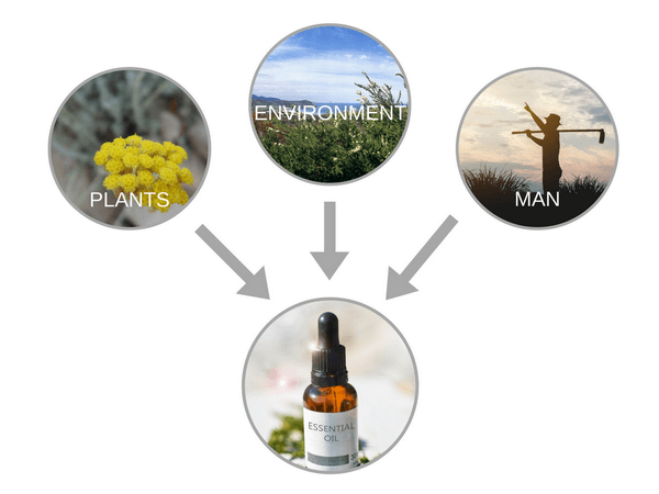 essential oil production