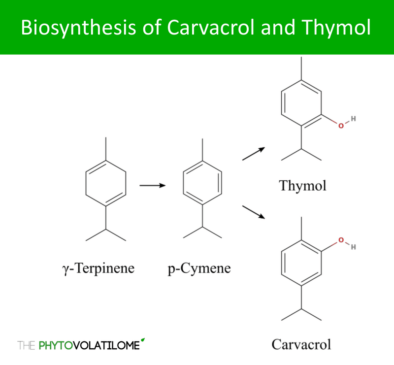 biosynthesis carvacrol thymol